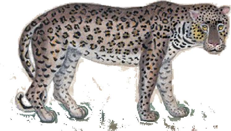 camille-enrico Tigre icône